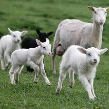 Grillning av lammkött, kan utlösa rädsloreaktion hos hund.