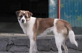 Gatuhund – Grekland
